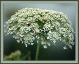 6-27-04 - Queen Anne's Lace (was: Another Pretty Weed)