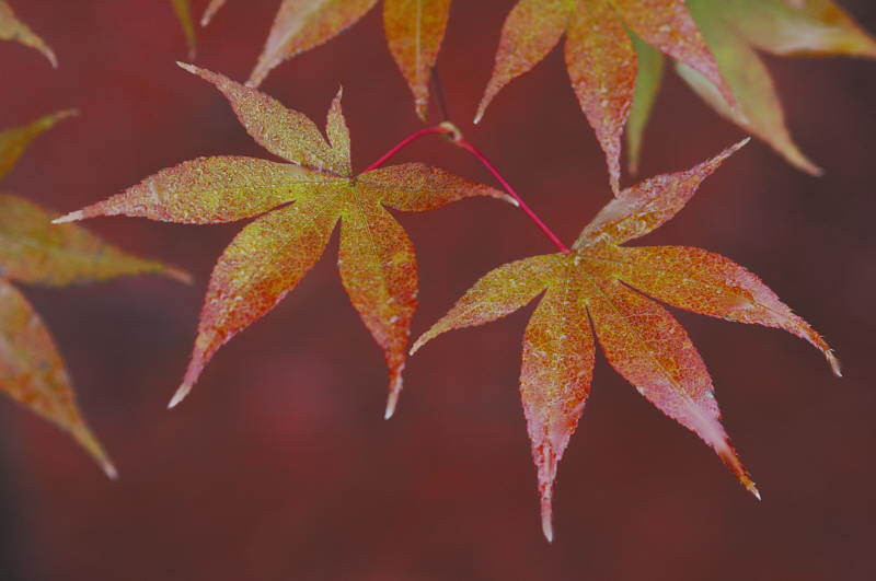 10/22/04 - More Maple Leaves