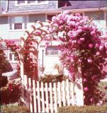 Mrs. Lieb's Roses, c. 1975