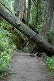 Tree over Trail