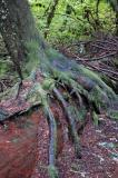 Tree on Nurse Log