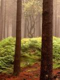 Madeiran forest