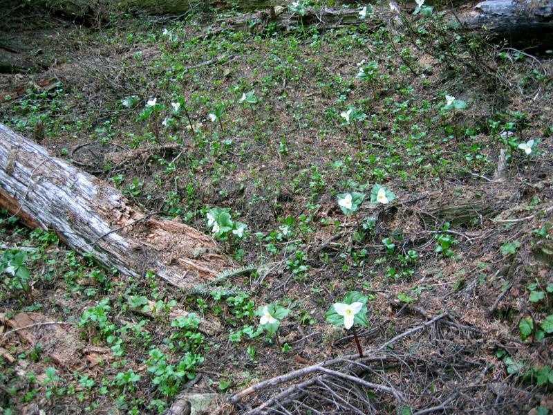 Field of Trillium