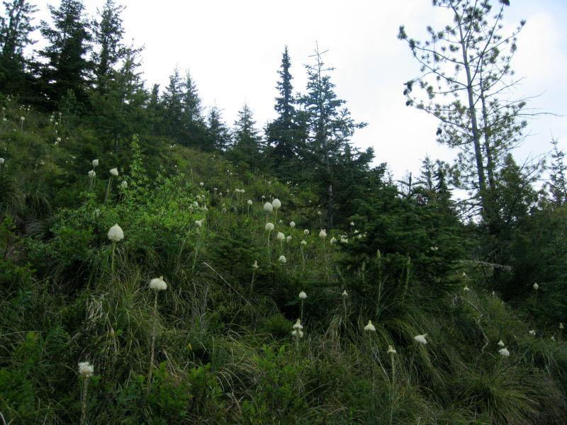Field of Beargrass