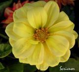 Yellow Dwarf Dahlia