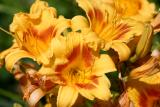 Hemerocallis or Day Lily