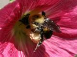 Bee in a Hollyhock LPCG