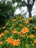 Day Lily Patch