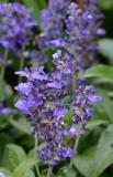 Salvia Victoria Purple