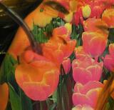 among the Tulips..