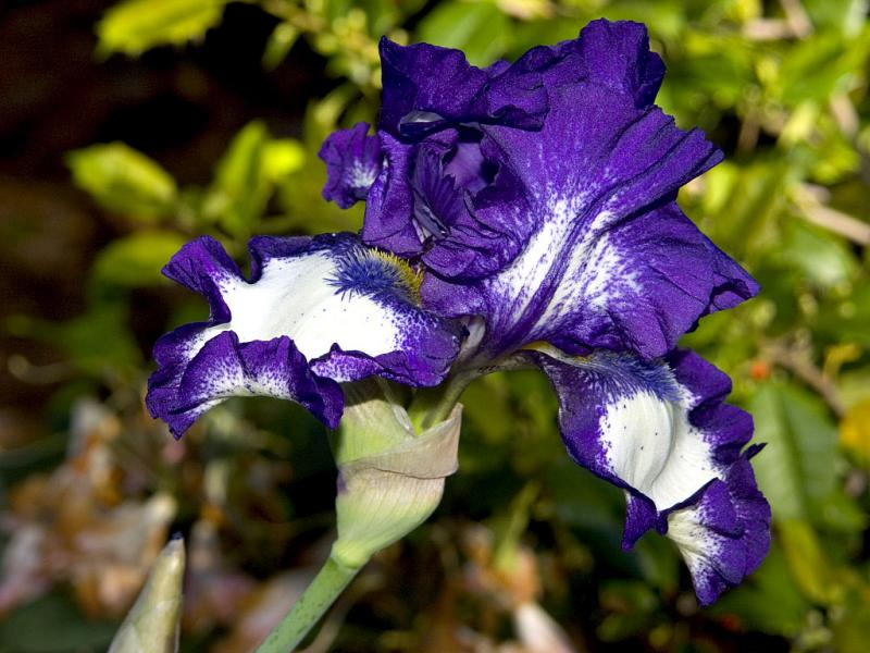 Purple Iris in the Sunlight