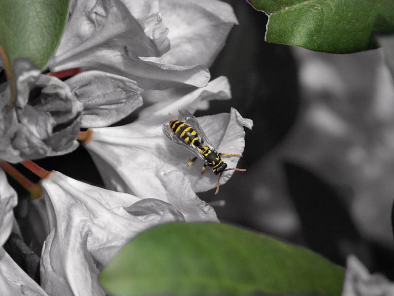 Wasp Selective Color
