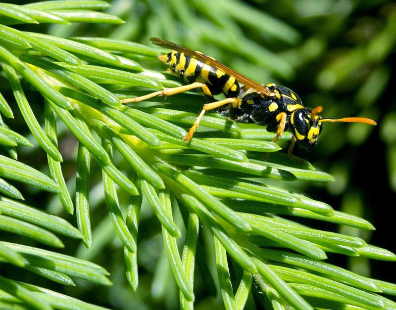 Wasp on Spruce