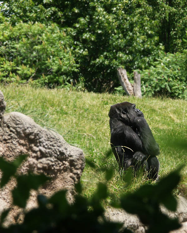 Gorilla as Rodins Thinker
