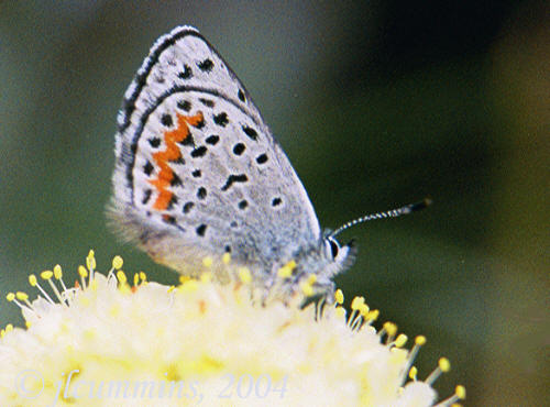 Western square-dotted blue butterfly