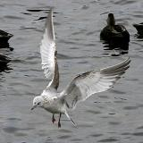 Common Gull, 1st cycle (5 of 8)