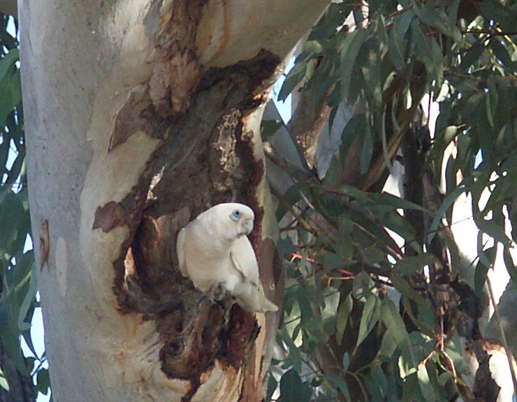 Corella, one of thousands