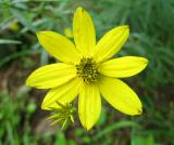 Coreopsis, Major (Greater Tickseed)