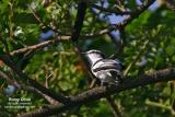 Pied Triller (male)   Scientific name - Lalage nigra   Habitat - Common in trees in open country, gardens in towns, and open scrub in the lowlands.
