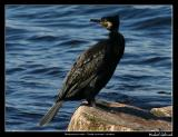 Great cormorant, Mölle