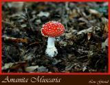 Amanita Muscaria - Sept. 23-04