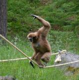 Gibbon in balance