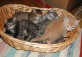 Five kittens in a basket