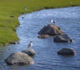 Gulls & Rocks