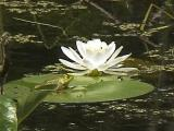 Lily & Frog Crop