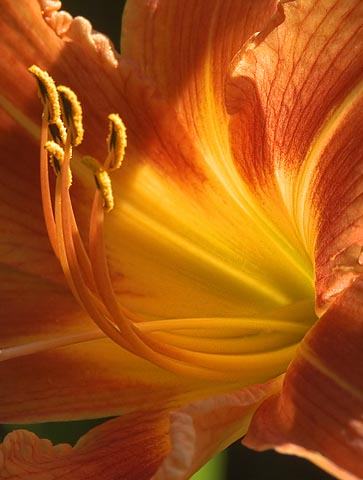 Day Lily Closeup Backlit
