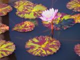 Flowering Lillies