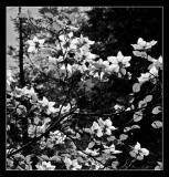Dogwood Black and White 2