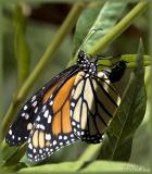 Monarch laying eggs