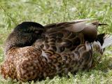 Duck napping.jpg(239)