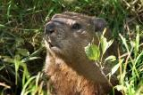 Young Groundhog