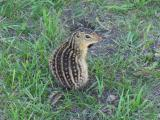 Rare Striped Gopher