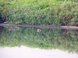 Hudsonian Godwit  - Ensley feeding