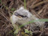 Western Kingbird - single fledgling MS 6-24