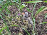 Western Kingbird Fledgling - begging