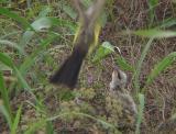 Western Kingbird - feeding approach