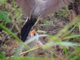 Western Kingbird - MS feeding fledglings 6-26-04