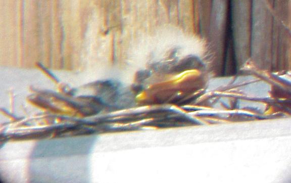 Western Kingbird -6-18-04 MS sleepy