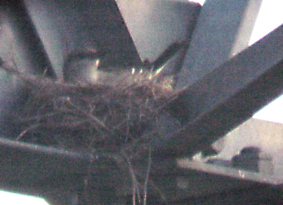 Western Kingbird - 6-18-04 Ensley nest
