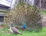 peacock____toronto__zoo_