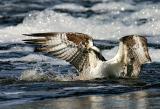 ospreysplash1.jpg