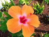 F P1010578 hibiscus.JPG
