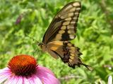 Giant Swallowtail on Purple Coneflower