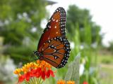 First Queen Butterfly of the Year on Tropical Milkweed
