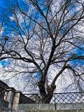 Tree next to Porta Rivera