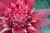 Bromeliad flower.jpg